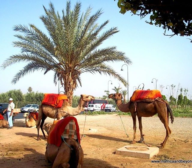 Camels in Marrakech Morocco  I need to VsitMorocco againhellip