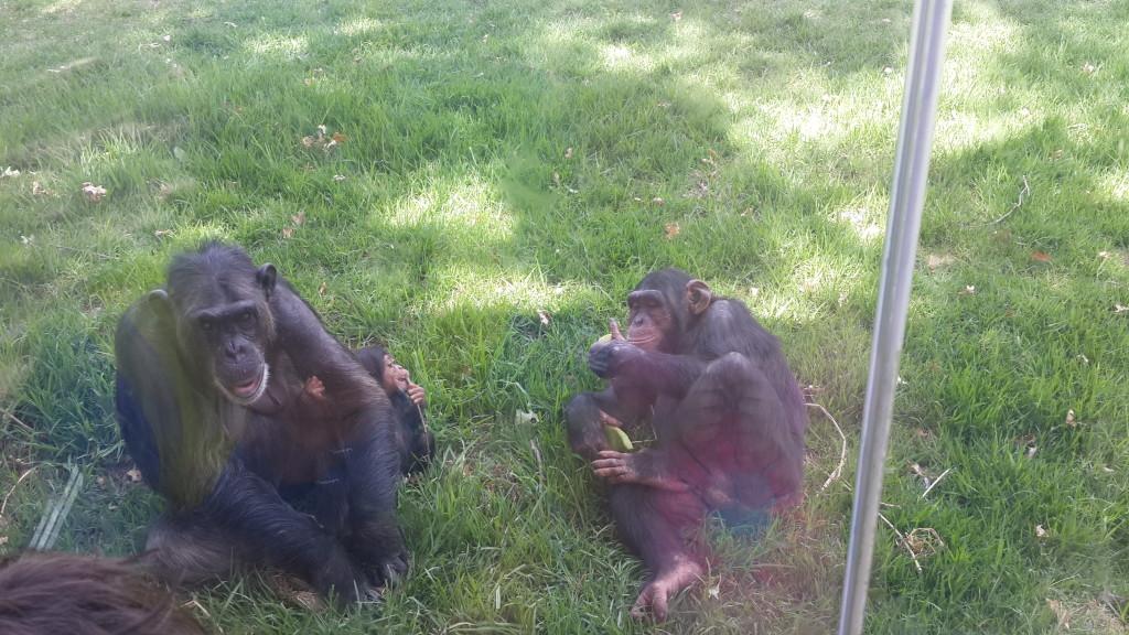 Chimpanzees (taken through the glass)