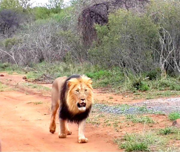 Lion Madikwe