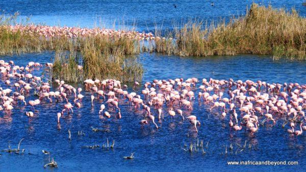 Flamingos at Kamfer Dam