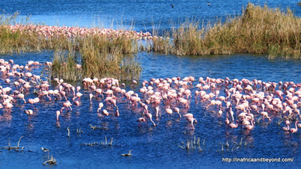 Lesser Flamingos at Kamfer Dam