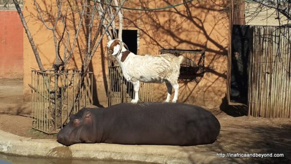 Boerbok and Bubbles - goat and hippo Emerald