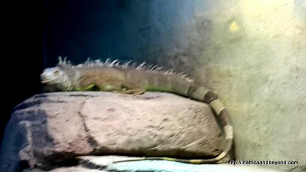Iguana Emerald
