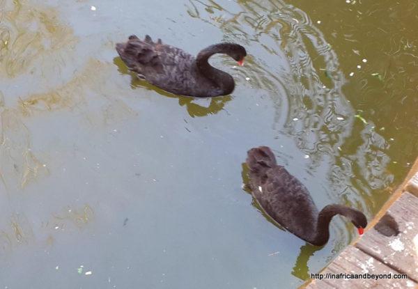Black swans -Emerald