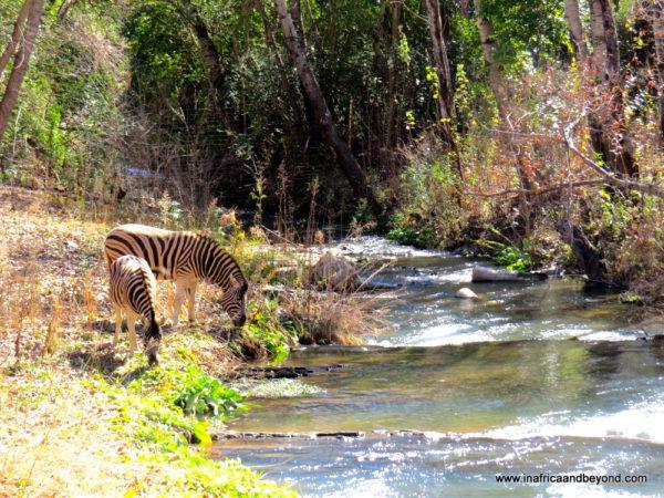 Resident zebras