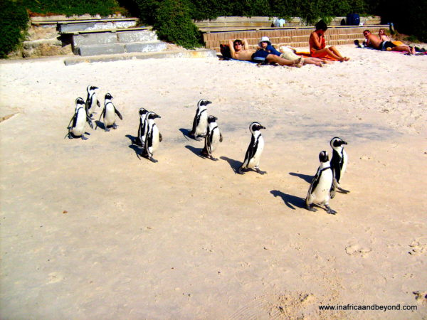 Boulders Beach - Photos of South Africa