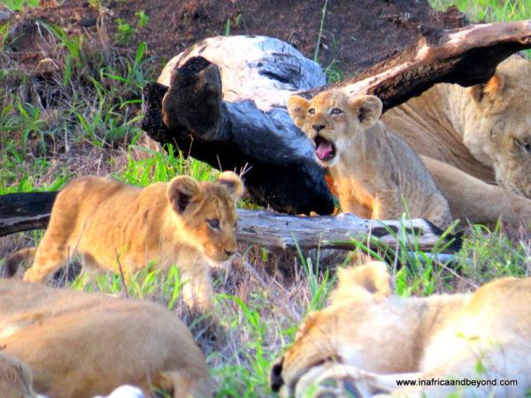 Lion Cubs Sabi Sabi