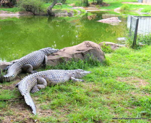 Crocodiles - Johannesburg Zoo