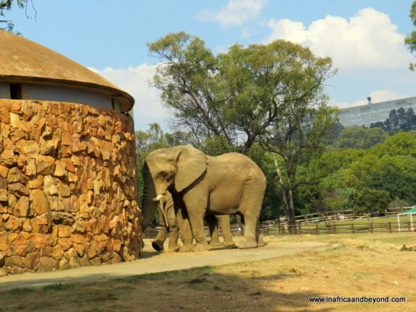 Elephants - Johannesburg Zoo