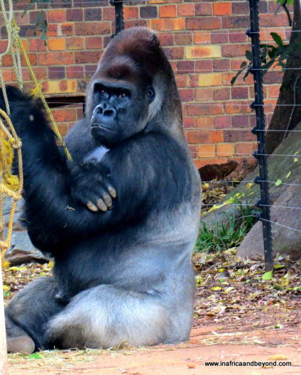 Gorilla Johannesburg Zoo