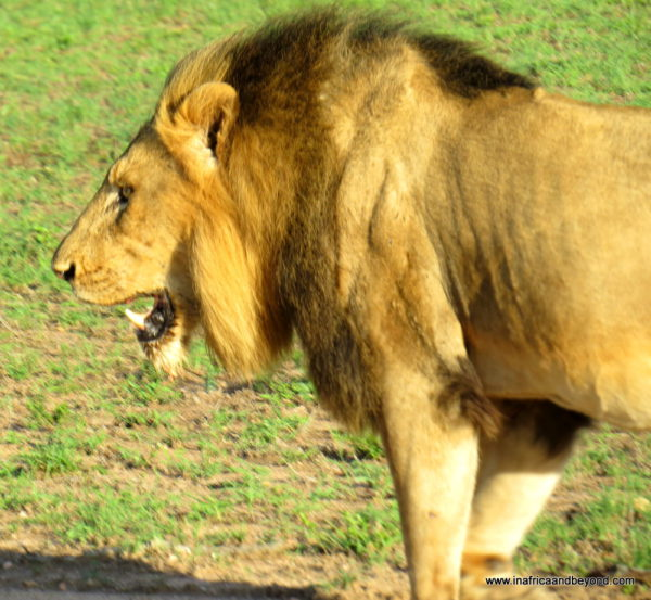 Lion in Sabi Sands Private Reserve -photos of Mpumalanga