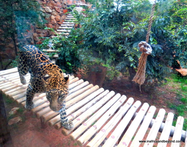 Leopard Johannesburg Zoo
