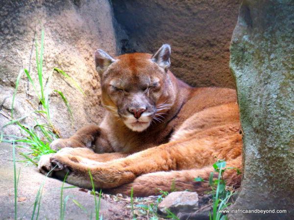 Puma - Johannesburg Zoo