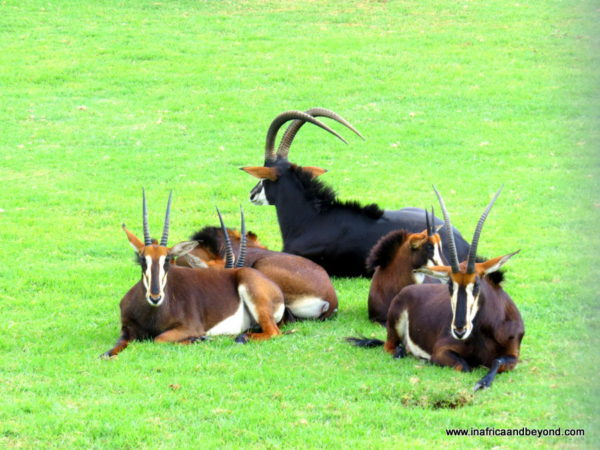 Sable Antelopes - Johannesburg Zoo