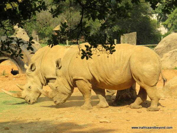 Rhinos - Johannesburg Zoo