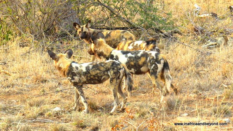 Wild dogs in Madikwe
