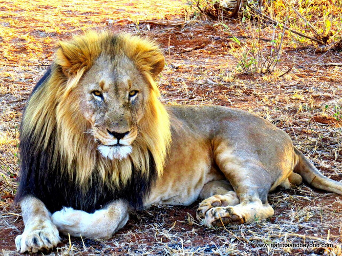 Lion in Madikwe