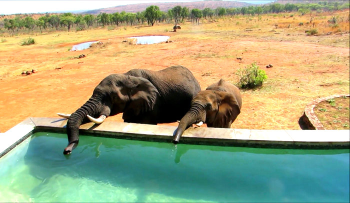 Elephants drinking from a pool