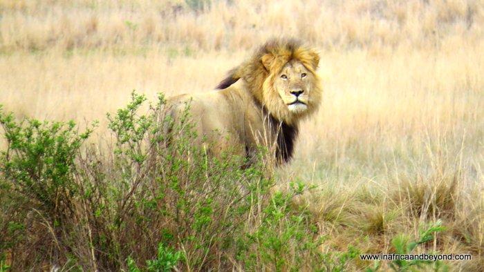 Mhondoro Lion
