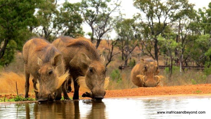 Mhondoro Warthogs