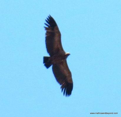 Marakele Vultures