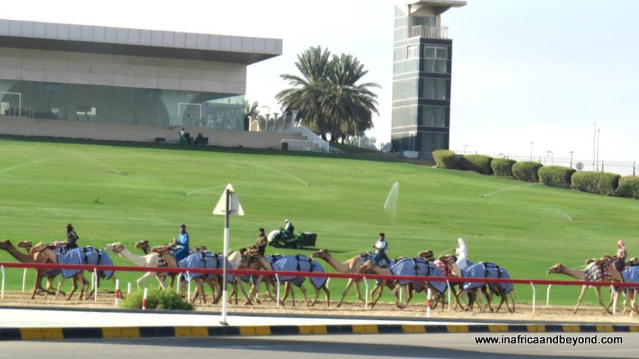 Camel Racing in Al Ain