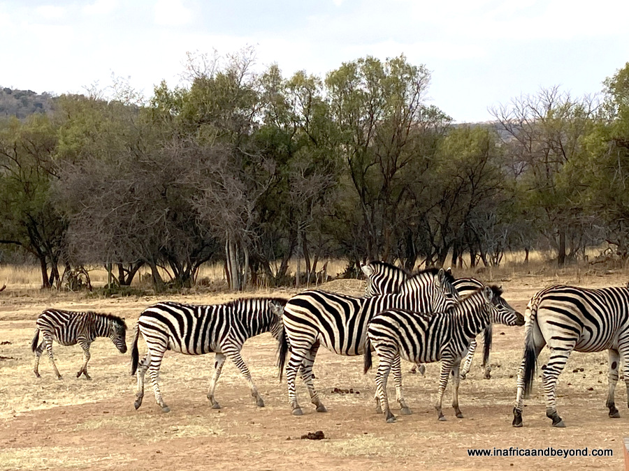 Zebras Crossing Very Private Game Lodge