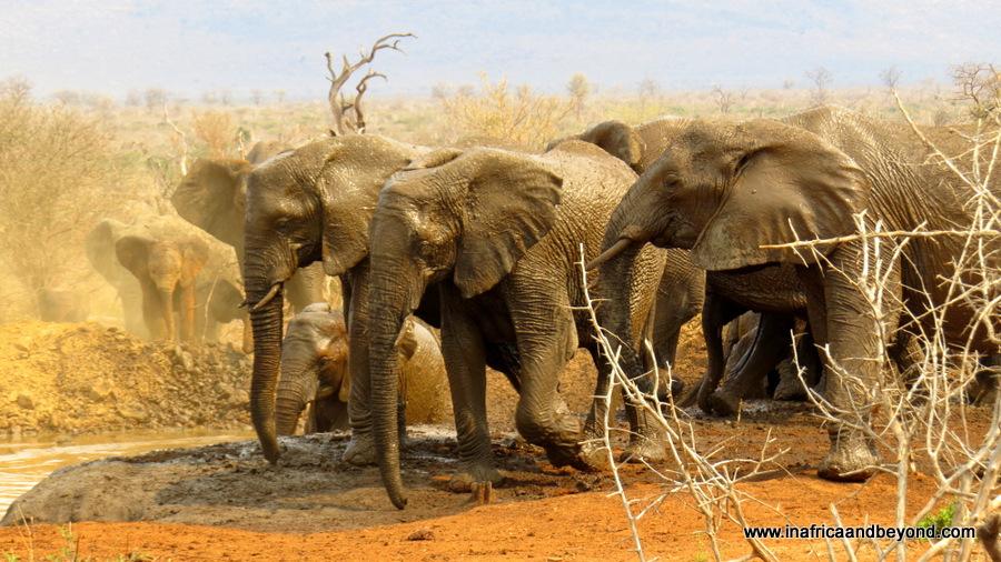 The Big Five - Elephants