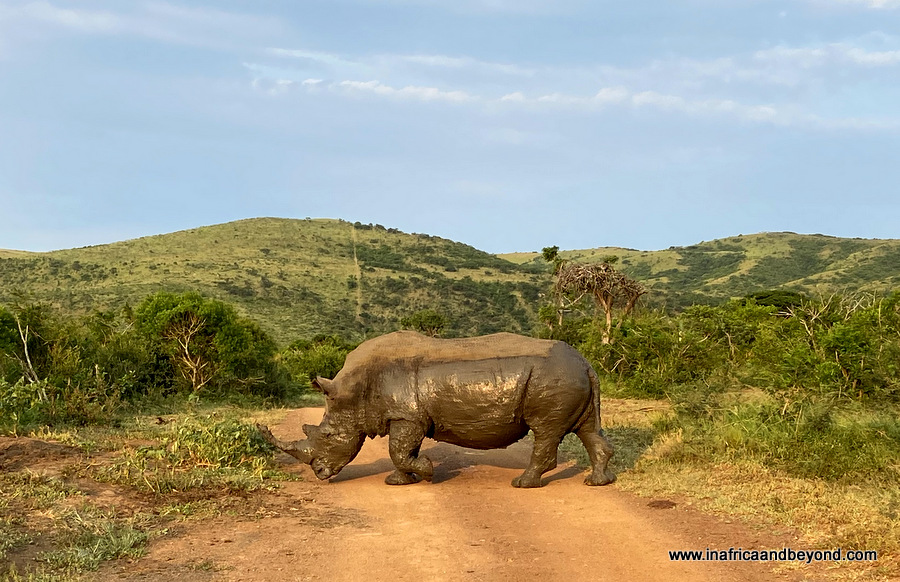 The Big Five - White Rhino