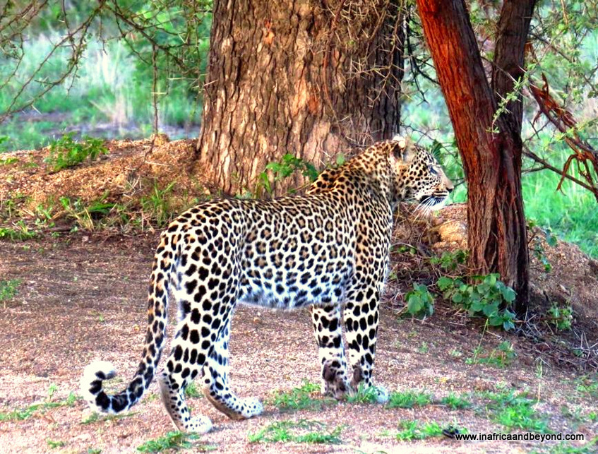 Pictures of The Big Five - Leopard