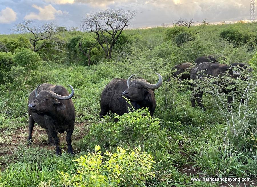 The Big Five - Buffaloes